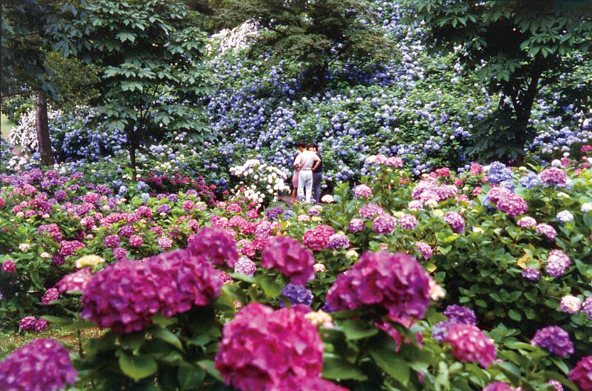 Maizuru Hydrangea Park 2