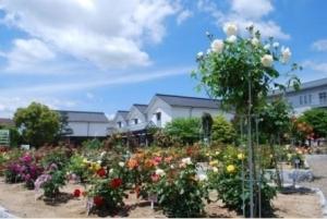 Autumn rose exhibition holding! (Ayabe Rose Garden)