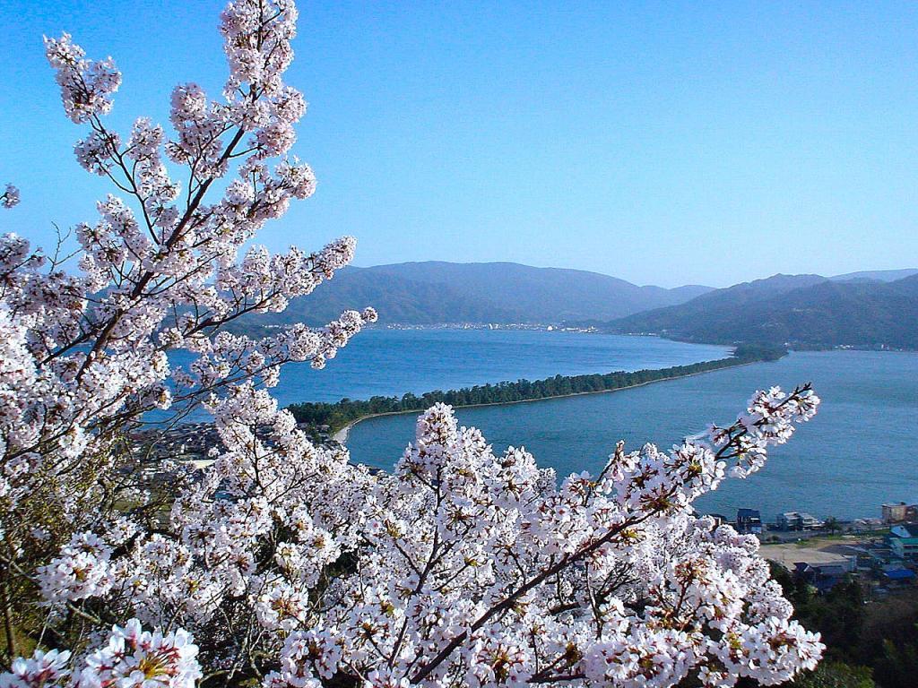 Amanohashidate Kasamatsu Park    Cherry tree