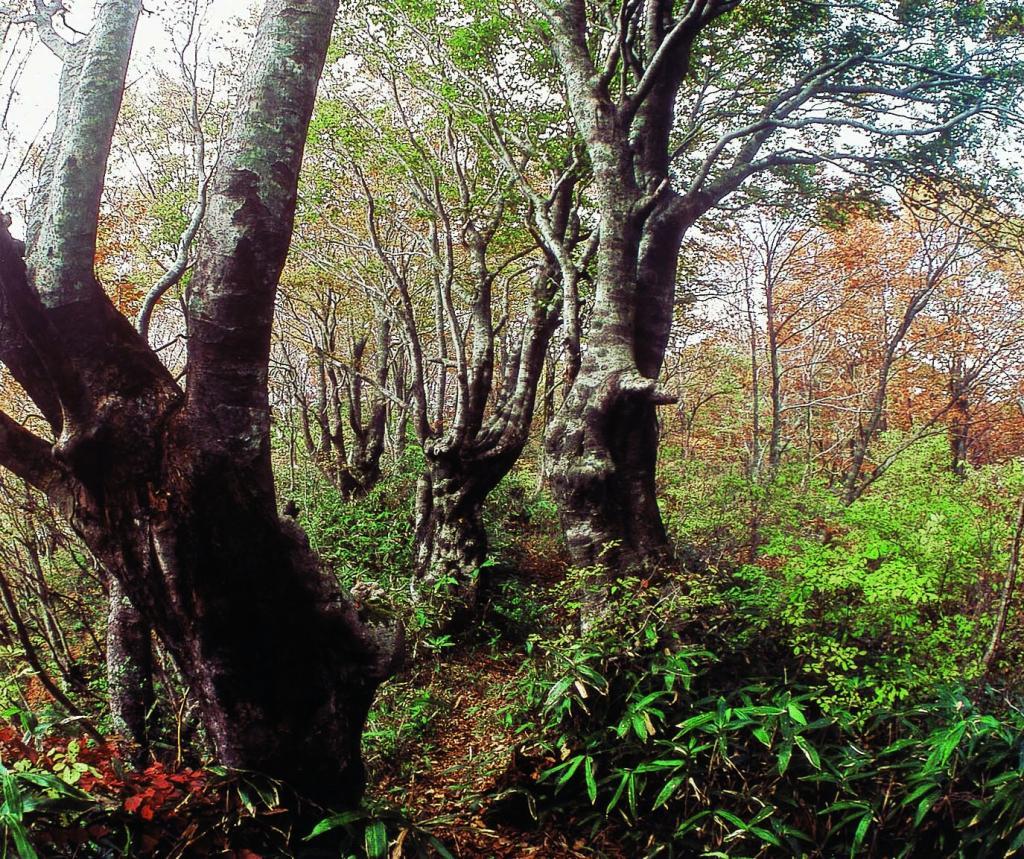 内山ブナ林