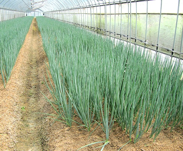 Article 9 green onion